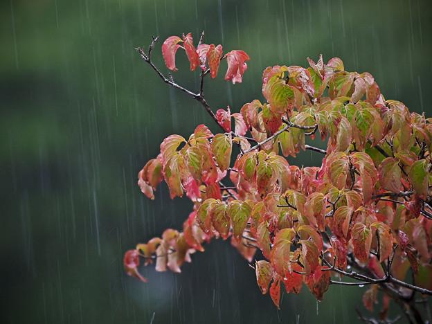 170908_箱根湿生花園_雨脚<ヤマボウシ>_G170908J5980_MZD300P_FH_C-SG_FS2_X8Ss
