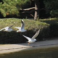 写真: 鳥尾(トリオ)
