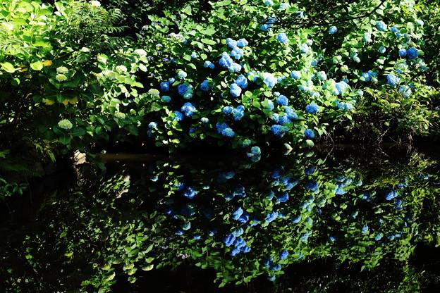水鏡に映る紫陽花