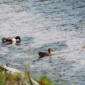 花筏と戯れる鴨