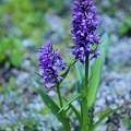 湯沢高原の花
