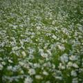 写真: 白色のコスモス