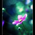 追憶の秋桜