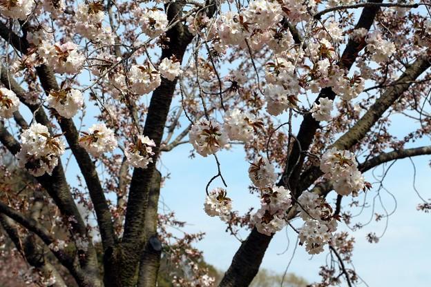 桜「浜名湖手鞠」