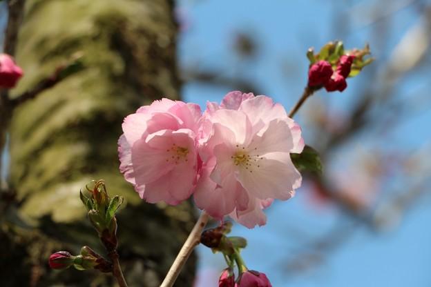 桜「紅豊」