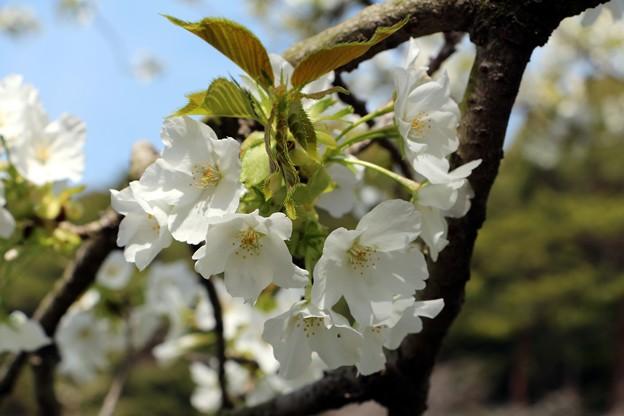桜「伊豆吉野」