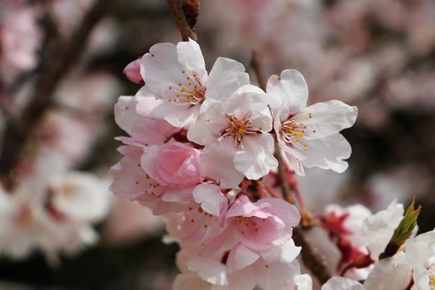 Photos: 桜「エドヒガン」