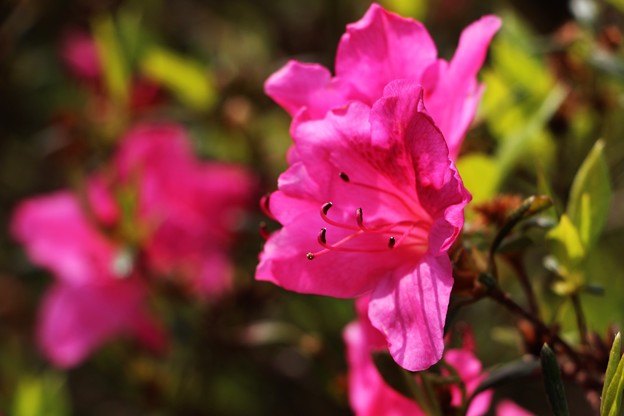 Photos: 四季咲つつじ