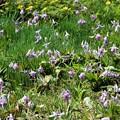 福寿草群生地の片隅にカタクリの花