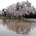 しだれ桜の水鏡