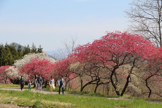 「世界中でいちばんきれいな2週間」余里の一里花桃