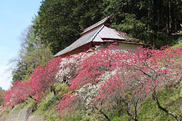 花桃と駒形神社