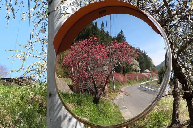 カーブミラーに映し出す花桃
