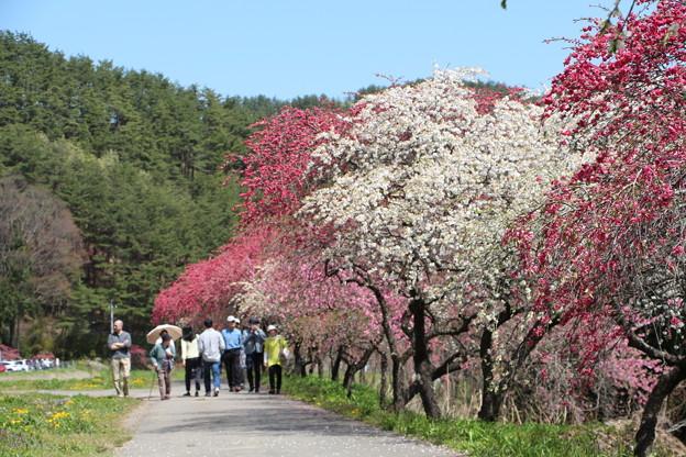 多くの花桃見物客