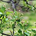 エゾリンゴ