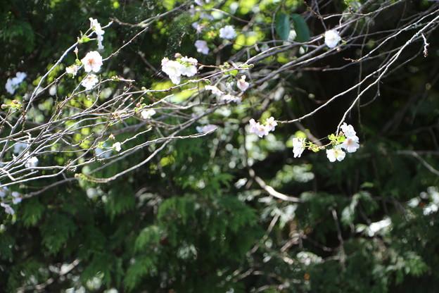 桜・「アーコレード」