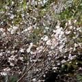 写真: 四季桜