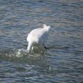 サギちゃん魚獲り 2