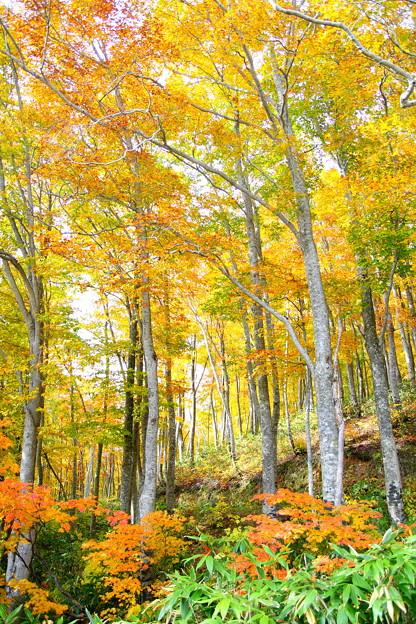 岩木山・ブナ森の紅葉
