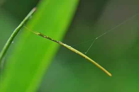 ヒメグモ科 オナガグモ