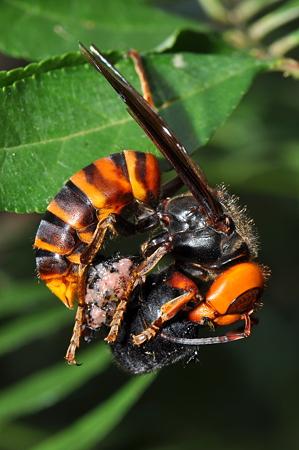 スズメバチ科 オオスズメバチ