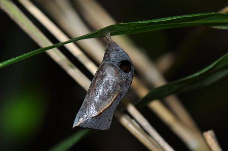 ジャノメチョウの仲間の蛹