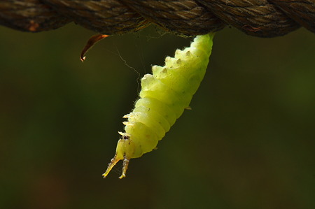 タテハチョウ科 ゴマダラチョウの前蛹