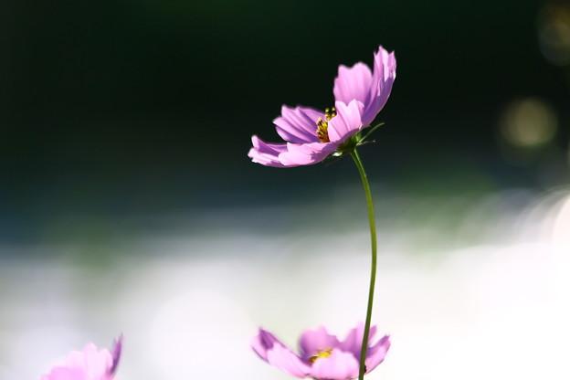 写真: 秋桜