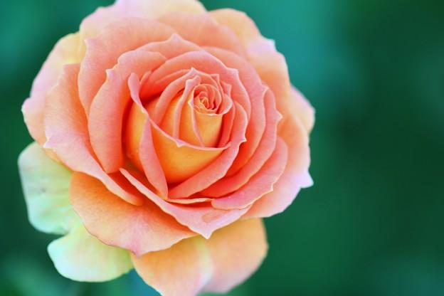 写真: 薔薇、ブラスバンド
