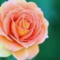 薔薇、ブラスバンド