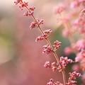 写真: 春を夢見るエリカ~