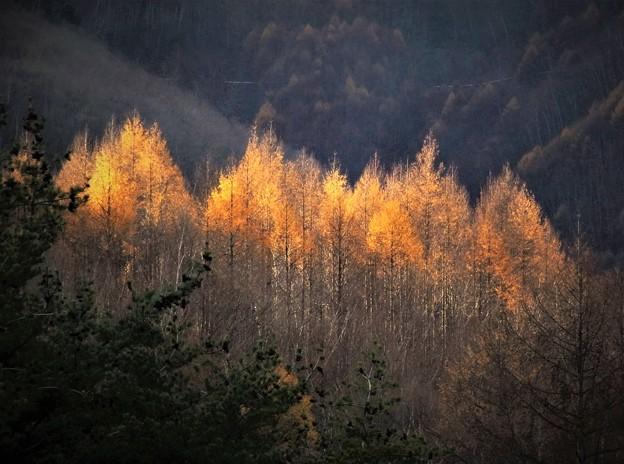 金色の秋・落葉松