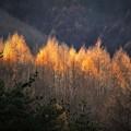 写真: 金色の秋・落葉松
