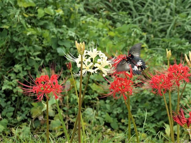 彼岸花(紅白)とクロアゲハ