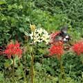 写真: 彼岸花(紅白)とクロアゲハ