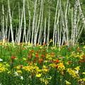 写真: 白樺林にゆり咲いて。