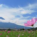 忍野にコスモス咲き始め。