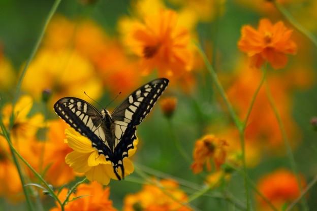 Vサインなアゲハ蝶。