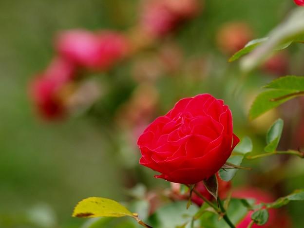 秋バラ、紅く。