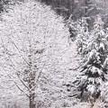 写真: 雪の華が咲くころ。