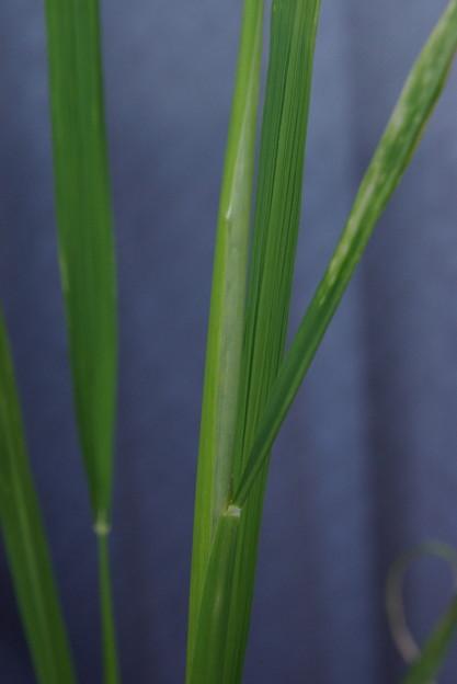 稲穂観察日記:2017/8/27(日:晴れ) うっすらと稲の蕾が見え始めてきた。