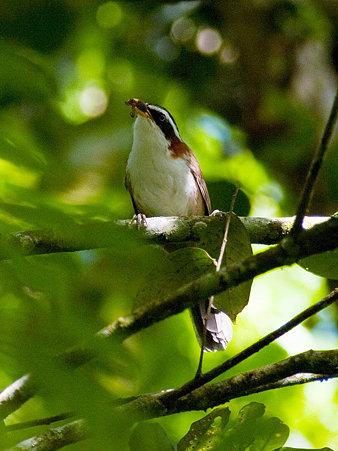 マミジロマルハシ(White-browed Scimitar-Babbler) IMGP125170_R
