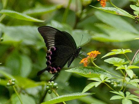 ルリモンアゲハ(Papilio Paris) IMGP126196_R