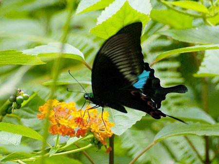 ルリモンアゲハ(Papilio Paris) IMGP126145_R