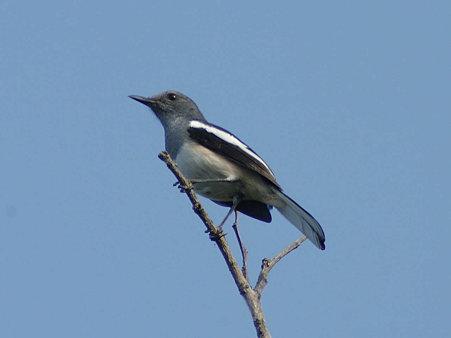 シキチョウ(Oriental Magpie Robin) IMGP126672_R