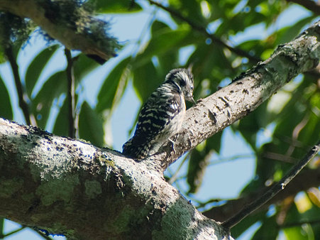 セグロコゲラ(Grey-capped Pygmy Woodpecker) IMGP126867_R2