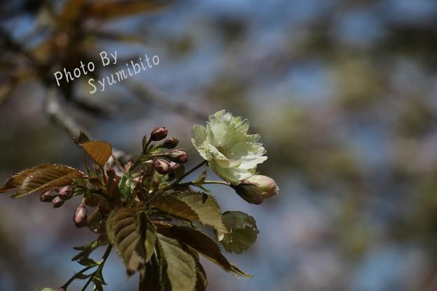 緑の桜 御衣黄(ギョイコウ) (2)