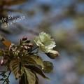 写真: 緑の桜 御衣黄(ギョイコウ) (2)