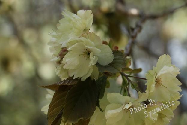 緑の桜 鬱金(ウコン)