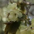 写真: 緑の桜 鬱金(ウコン)